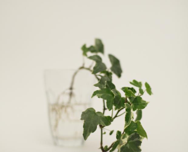 Glas mit Efeu/Hedera
