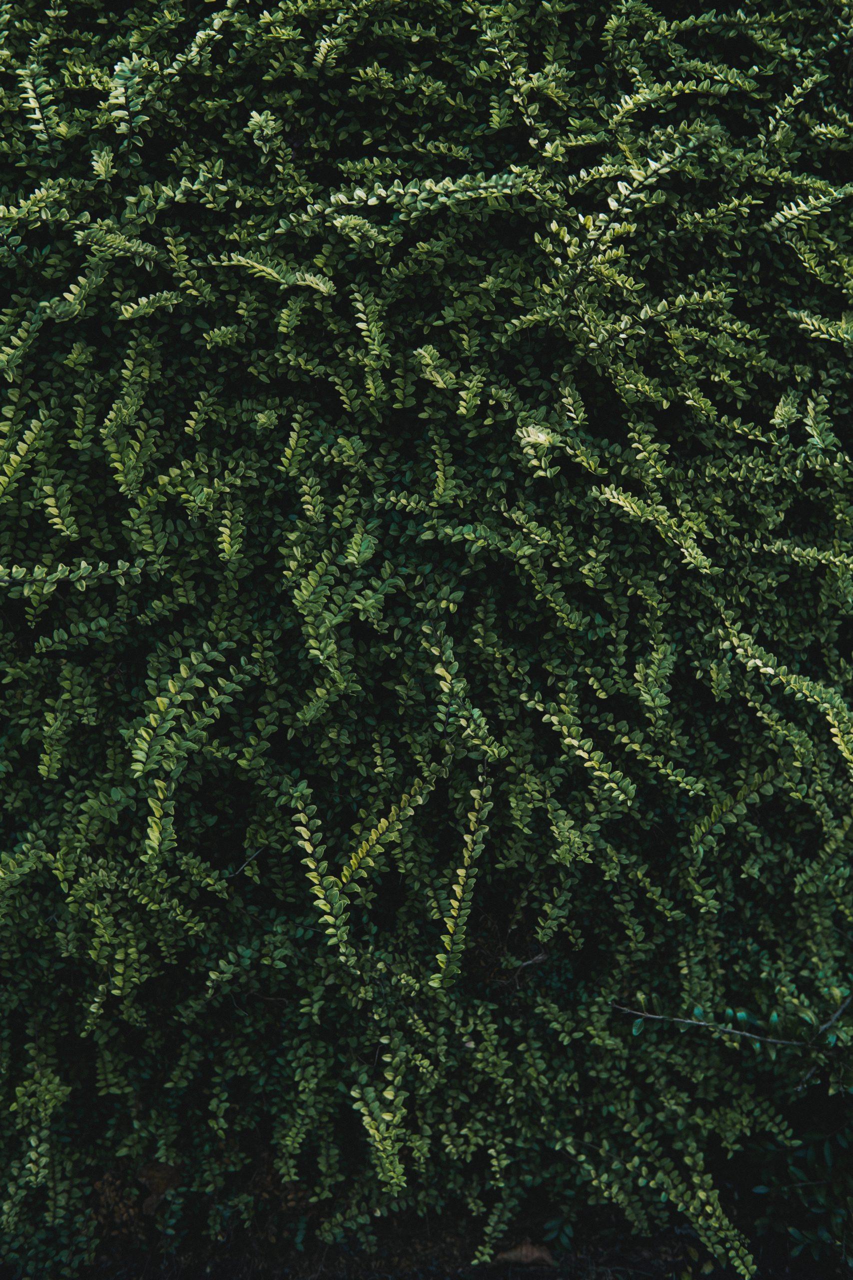 Pflanzenwandschatten