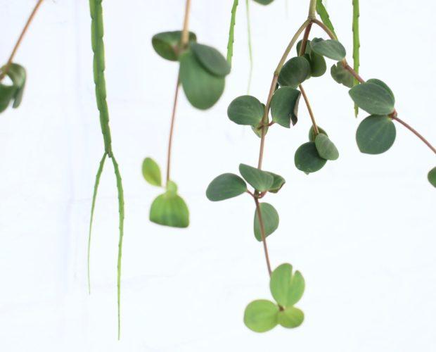 Peperomia Hängepflanze